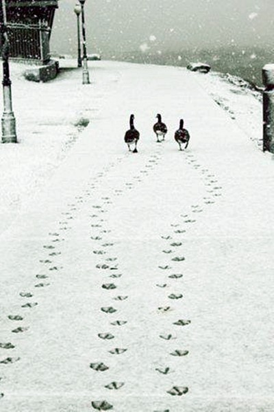 3 geese walking